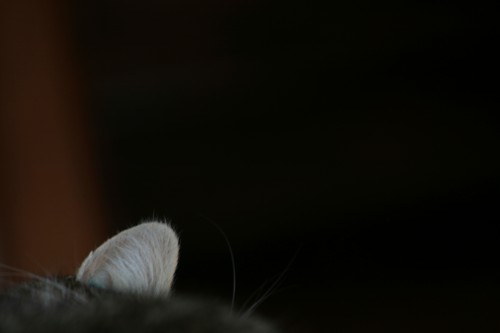 chat, cat, oreille, ear,